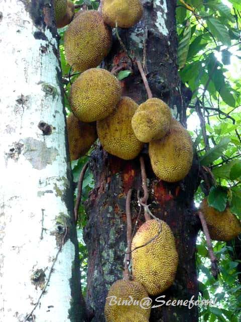 Jack fruit 1